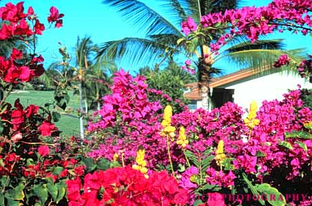 Stock Photo #6846: keywords -  blossom blossomed blossoming blossoms bougainvillea color colorful cultivate cultivated cultivating decorate decorated decorative flower flowering flowers garden gardening gardens grow growing grown growth hawaii horz landscape landscaped landscaping palm plant plants spring summer tree trees tropical