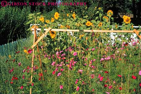 Stock Photo #6863: keywords -  bean cosmos cultivate cultivated cultivating garden gardening gardens grow growing grown growth horz landscape landscaped landscaping plant plants residence residential spring summer sunflower trellis vegetable