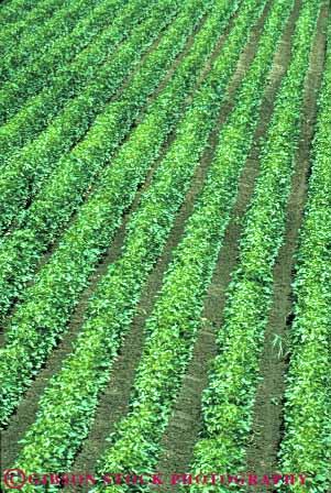 Stock Photo #6871: keywords -  agriculture bean beans crop crops cultivate cultivated cultivating cultivation elevated farm farming farms field green grow growing grown growth leaf leaves legume legumes linear mississippi parallel pattern photosynthesis plant plants produce row rows soy soybean vert view