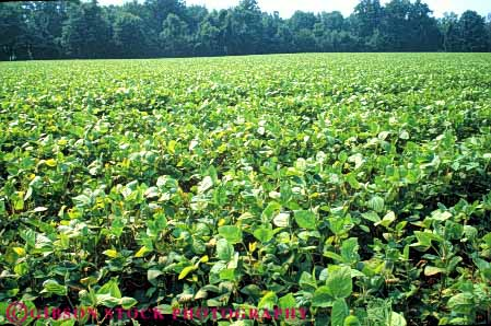 Stock Photo #6876: keywords -  agriculture bean beans crop crops cultivate cultivated cultivating cultivation farm farming farms field green grow growing grown growth horz leaf legume legumes maryland photosynthesis plant plants produce soy soybean