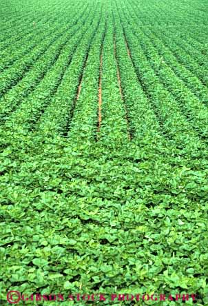 Stock Photo #6879: keywords -  agriculture bean beans crop crops cultivate cultivated cultivating cultivation farm farming farms field green grow growing grown growth indiana leaf leaves legume legumes linear pattern photosynthesis plant plants produce row rows soy soybean vert