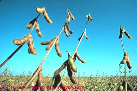Stock Photo #6881: keywords -  agriculture bean beans california crop crops cultivate cultivated cultivating cultivation developed dried dry drying farm farming farms field green grow growing grown growth horz legume legumes mature photosynthesis plant pods produce ripe seed soy soybean