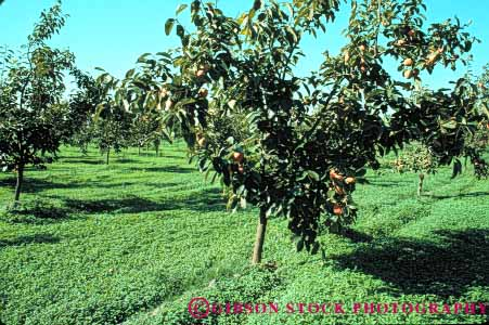 Stock Photo #6893: keywords -  agriculture bunch california cluster crop crops develop developed developing development farm farming farms fruit fruits grow growing grown growth horz limb orange orchard orchards persimmon persimmons pod pods produce ripe seed tree trees vegetable vegetables