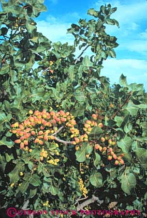 Stock Photo #6895: keywords -  agriculture bunch california cluster crop crops develop developed developing development farm farming farms fruit fruits grow growing grown growth limb nut nuts orchard orchards pistachios pod pods produce seed tree trees vegetable vegetables vert
