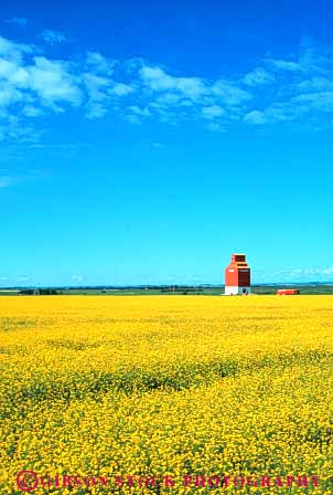 Stock Photo #6897: keywords -  agriculture alberta blossom blossoming blossoms canada canola color colorful crop crops farm farming farms field flower flowering grow growing grown growth landscape of plain produce scenic silo vegetable vegetables vert yellow