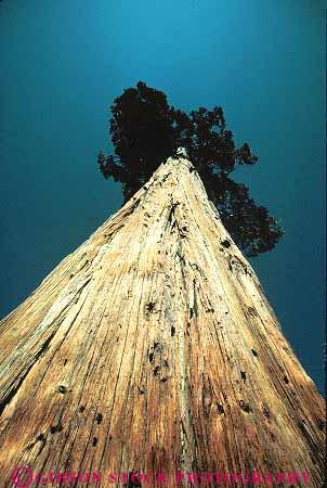 upward view incense cedar tree California Stock Photo 13750
