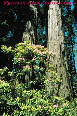 Stock Photo #6918: keywords -  and bark california conifer coniferous conifers del environment flower flowering flowers forest forests lush national nature norte park redwood redwoods rhododendron spring state timber tree trees vert