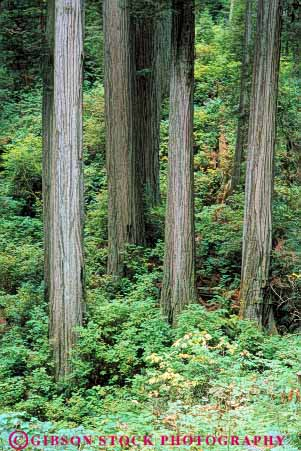 Stock Photo #6919: keywords -  bark california conifer coniferous conifers develop developing development environment forest forests jedediah lush national nature park redwood redwoods smith state timber tree trees vert young
