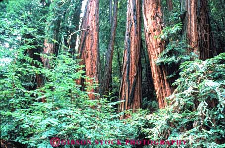 Stock Photo #6920: keywords -  bark california cluster conifer coniferous conifers environment forest forests horz lush monument muir national nature redwood redwoods timber tree trees woods
