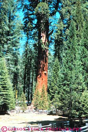 Stock Photo #6925: keywords -  bark big california conifer coniferous conifers environment forest forests general giant national nature park redwood redwoods sequoia sequoias sherman sierra tall timber tree vert
