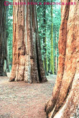 Stock Photo #6928: keywords -  bark big bunch california cluster conifer coniferous conifers environment floor forest forests giant group national nature park redwood redwoods sequoia sequoias sierra tall three timber tree trees vert