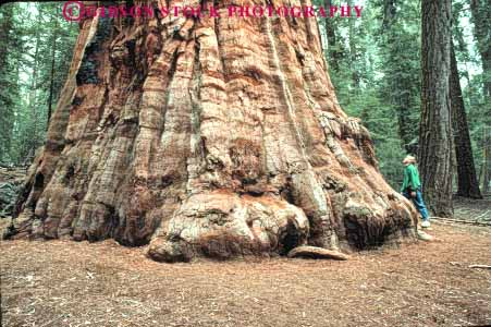 Stock Photo #6932: keywords -  bark base big california conifer coniferous conifers environment forest forests giant girl girls hiker horz huge national nature of park person redwood redwoods scale sequoia sequoias sierra tall timber tree
