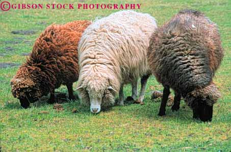 Colour Variation Animals : sheep fur color variation Stock Photo 7935