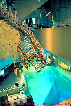 ... right whale skeleton hanging in National Aquarium Baltimore Maryland