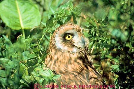 Sparred Owl (Barred Owl x Northern Spotted Owl)   Portland ...  Owls Portland Oregon