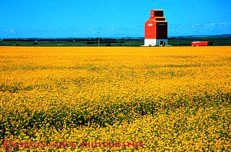 Stock Photo #3306: keywords -  agriculture alberta bright canola color colorful colors crop crops deer farm farming farms field flower flowering graphic horz landscape red scenery scenic spring yellow