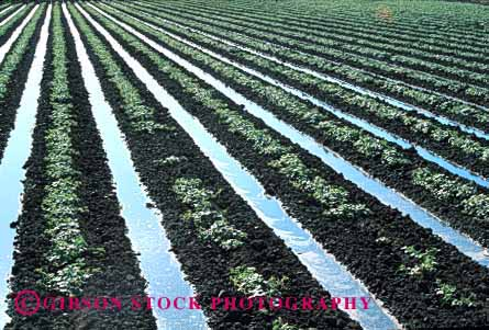 Stock Photo #1271: keywords -  agriculture blythe california crops equipment evaporation farm farming farms field flood grow horz in irrigate irrigates irrigating irrigation leading line lines management melon of plants resource row rows soil trenches water watering waters young