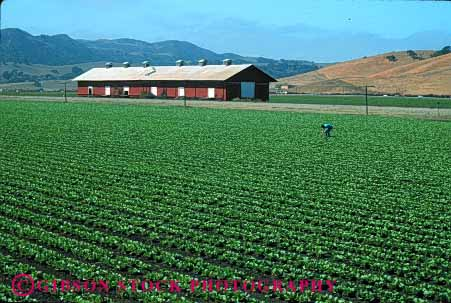 Stock Photo #1282: keywords -  agriculture barn barns california crop crops farm farmer farmers farming farms field fields food green grow harvest horz in inspect job landscape lettuce lush man of people row rows salinas scenic scnery vegetable work working