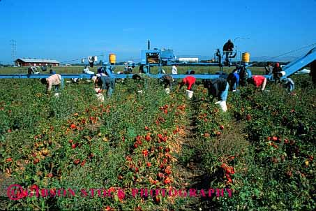 Stock Photo #1284: keywords -  agriculture california crop crops equipment farm farms food grow harvest harvester harvesting harvests hispanic horz jobs labor laborer machine mexican migrant occupation peppers salinas seasonal vegetable work workers working works
