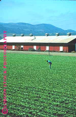 Stock Photo #1286: keywords -  agriculture barn barns california crop farm farmer farming fi field fields food green grow harvest inspect job lettuce lush man people person row rows salinas vegetable vert work