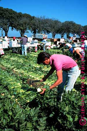 Stock Photo #1290: keywords -  agriculture california celery crew crews crop crops ethnic farm farms field fields food grow harvest harvesting harvests hispanic inspect job jobs man men mexican migrant not packing people person salinas seasonal shipping vegetable vert work worker workers working