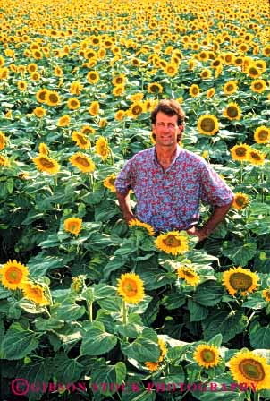 Stock Photo #6027: keywords -  agriculture color colorful crop crops farmer field flower grow lots male man many multitude proud relax released stand sunflowers vert yellow