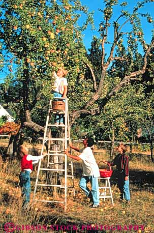Stock Photo #3358: keywords -  apple apples autumn boy boys children cooperate ethnic fall farm food friend fruit gender girl girls group harvest in ladder ladders mix model orchard orchards outdoor pick picking picks produce released safety together vert youth