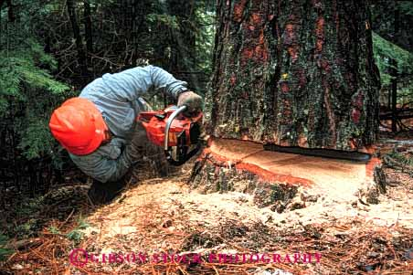 Stock Photo #2291: keywords -  care career careful caution chain chainsaw chainsaws clothing cut cuts cutting danger examine exercise falling forest forestry hardhat harvest health horz income industry job jobs labor log logger loggers logging logs look lumber natural occupation pine power protective released renewable resource risk saw saws sharp skill study tool tree trees wear work