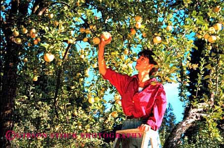 Stock Photo #2338: keywords -  alone apples autumn fall female fruit harvest horz ladder ladders orchard orchards outdoor people person pick picking picks private relax released solitude summer tree trees woman