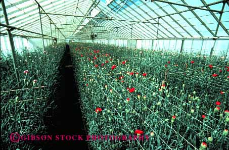 Stock Photo #2431: keywords -  arrange california carnation carnations commercial countless cultivate cultivated cultivation cut flower geometric greenhouse greenhouses grow growing horz identical indoor inside interior landscape many multitude nursery of ornamental pattern plant repetitive row rows