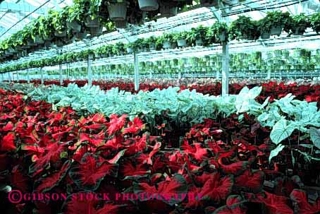 Stock Photo #2432: keywords -  arrange caladium california commercial countless cultivate geometric greenhouse grow horz house identical landscape many multitude nursery ornamental pattern plant repetitive row