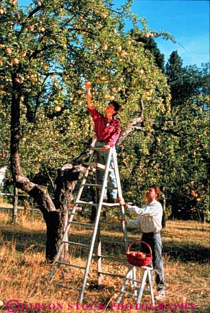 Stock Photo #3443: keywords -  apple autumn california collect cooperate couple couples effort fall food fruit grow harvest intimate ladder mount orchard outdoor pick released safety share shasta team together vert