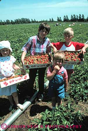 Stock Photo #5097: keywords -  berry boy child children eat eating female food fresh fruit girl grin group harvest many pick produce red smile strawberries strawberry team together vert