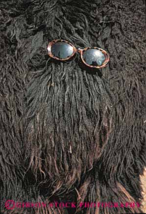 Stock Photo #5221: keywords -  blur cute different dog eye eyes fun funny fur furry glasses hair hairy hirsute humor humorous obscure peculiar rear strange sunglasses vert vision